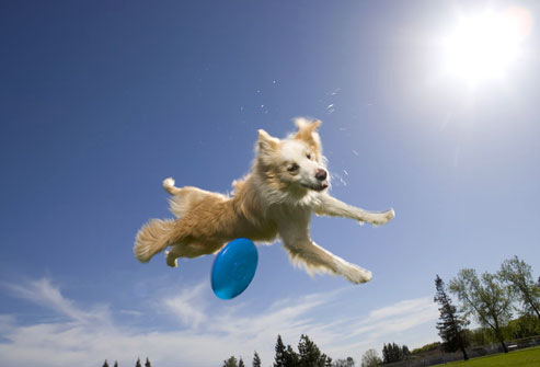 photolibrary_rf_photo_of_dog_in_air
