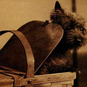 Angus as Toto in Wizard of Oz (1939)